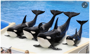 'This is not right': Former SeaWorld trainer recalls killer whale treatment